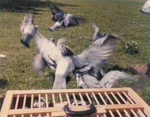 Danny's grave pigeons.